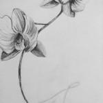 orchidicae